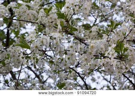Flowering Fruit Tree