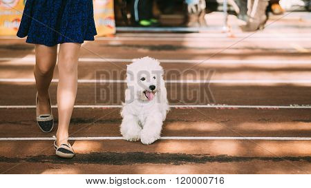 Smiling White West Highland White Terrier, Westie, Westy, Dog