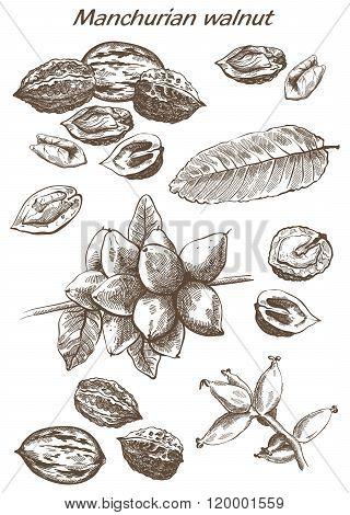 Manchurian walnut set of sketches