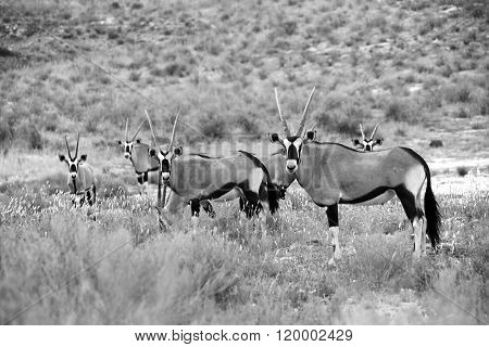Herd Of Oryxes At Kgalagadi National Park South Africa