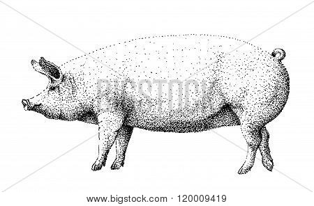 Big white pig black and white illustration old lithography style hand drawn