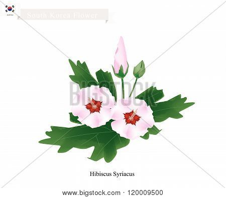 National Flower of South Korea, Hibiscus Syriacus