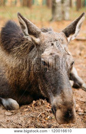 Close up of wild female moose, elk.