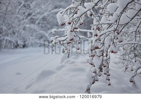 ashberry on branch under snow close up.