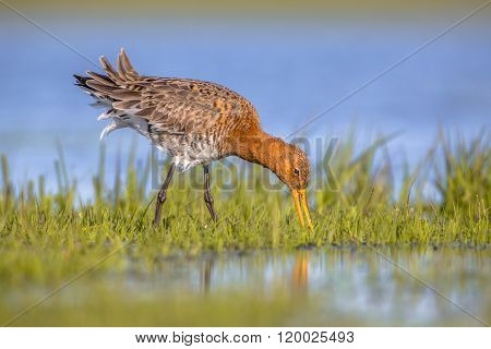 Black Tailed Godwit Foraging In Wetland