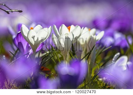 White Crocusses Blooming In A Field Of Purple Flowers