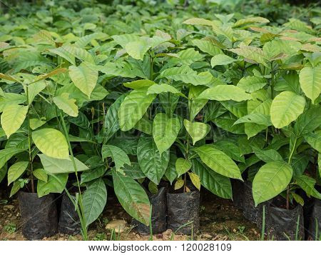 Coffee Seedlings Plant In A Nursery.