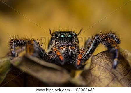 Macro Of Jumping Spider.