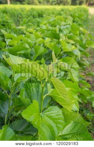 Mulberry Leaf Tree At Field.