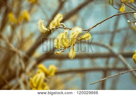Spring Background With Yellow Buds Of Goat Willow In Vintage Tones