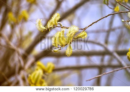 Yellow Buds Of Goat Willow - Spring Background With Soft Focus