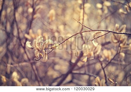 Spring Background -yellow Buds Of Goat Willow With Vintage Tones Processing