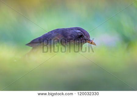 Female Common Blackbird
