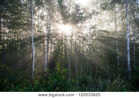 Light Rays In Forest In Foggy Morning