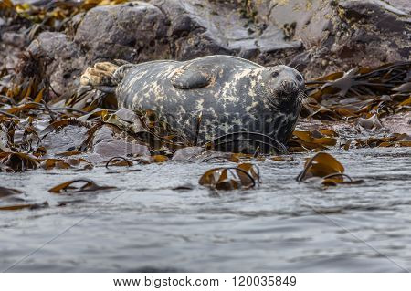 Well-fed Atlantic Grey Seal