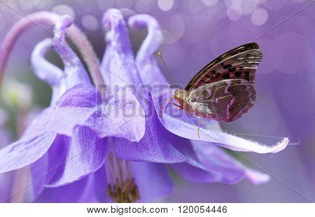 Campanula bell-fower softfocus