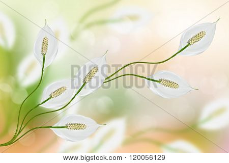 Summer Landscape. White Delicate Flowers Spathiphyllum.
