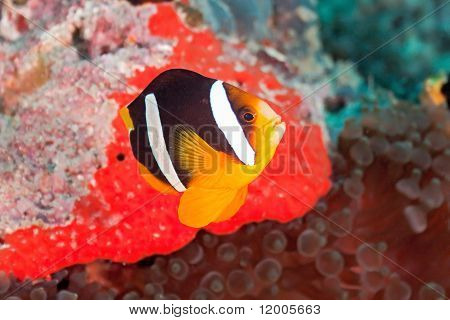Yellowtail anemonefish