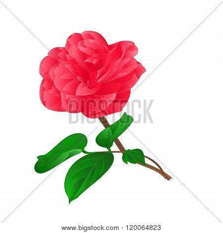 Camellia Japonica Vektor
