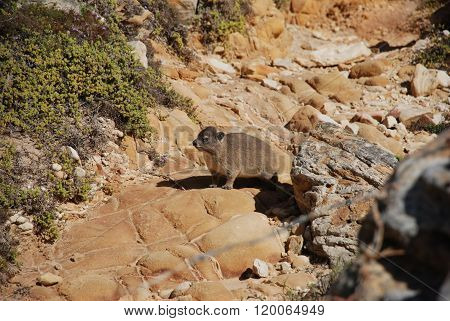 A Rodent On Rock In The Cape Of Good Hope