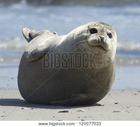 Baby Grey Seal Moving Forward At The Beach At Dune, Helgoland, Germany