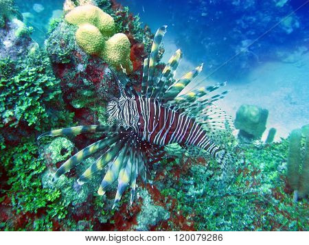 Underwater world lionfish (Pterois volitans)