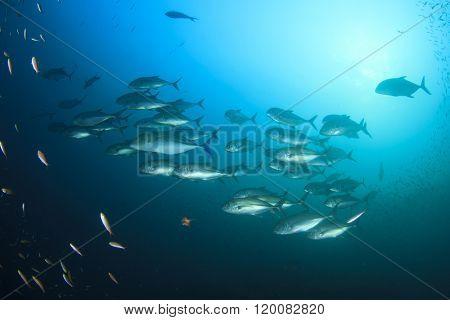 Fish school in ocean: Bigeye Trevallies or Jackfish