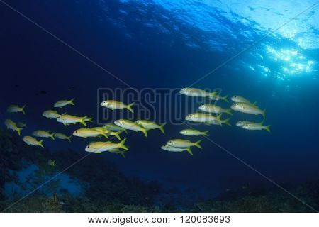Fish in ocean: Yellowfin Goatfish poster