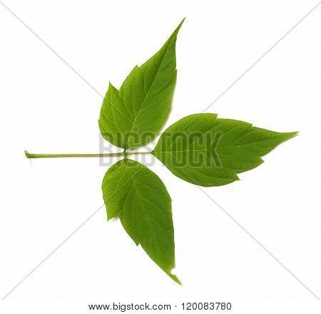 Green Maple Ash (acer Negundo) Leaf