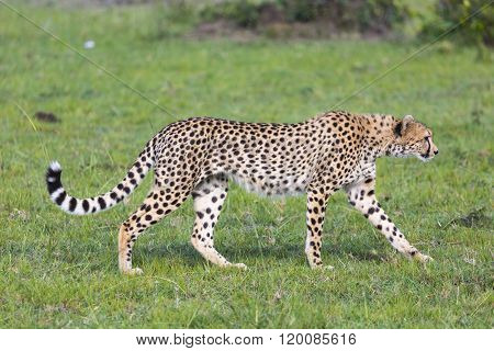 A cheetah (Acinonyx jubatus) on the Masai Mara National Reserve safari in southwestern Kenya. poster