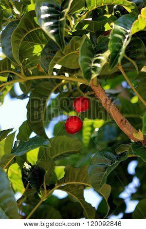 Puriri Berries