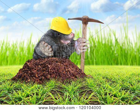 The Mole (Talpa Europea) with pickax digging on your garden. Pest control concept. Funny picture of animals in agriculture.
