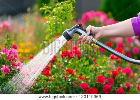 Watering garden with colorful flowers using hose