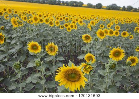 Field of blooming sunflowers.