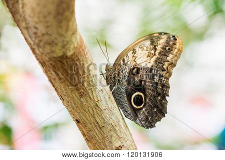 Butterfly Kaliga sits on a tree trunk