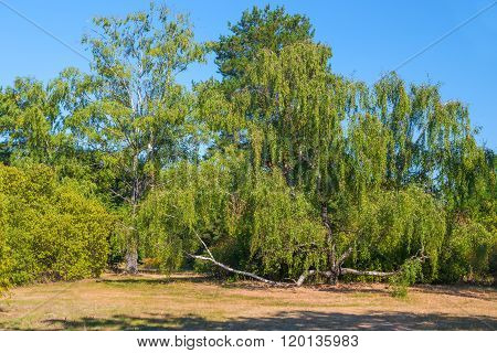 Proliferating Large Tree In A Park In Summer Day