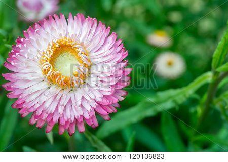 Pink Straw flower , Everlasting flowers in garden