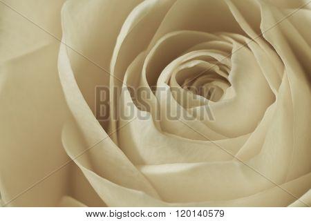 close up of white rose petals