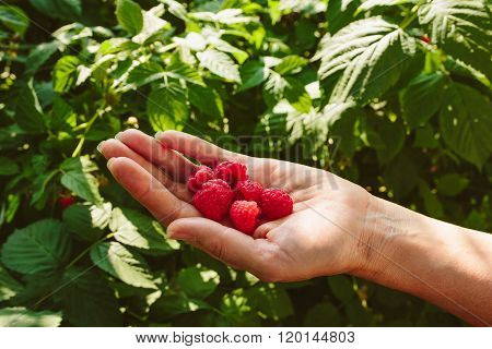 Few raspberries in a hand just picked up in garden. Holding by woman who raised them. Leaves from the raspberries plant in a back.