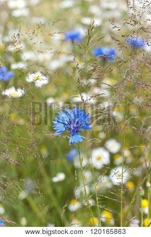 A Cornflower Between German Camomile