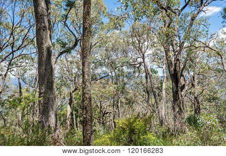 Forest In Victoria, Australia