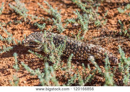 Tiliqua Rugosa In Western Australia
