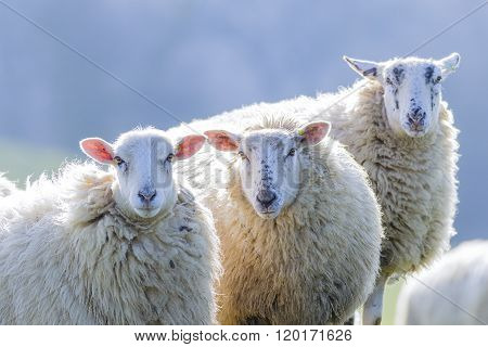 Three back lit sheep staring towards camera on a bright winter morning