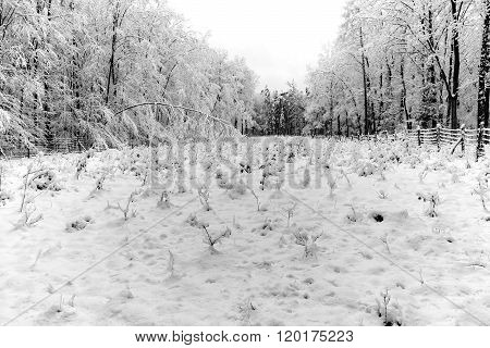 Forest Nursery In Winter With Snow