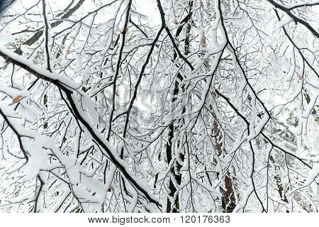 View Of The Branches In A Forest In Winter With Snow