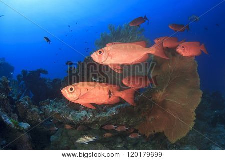 Red Crescent-tailed Bigeye fish on coral reef