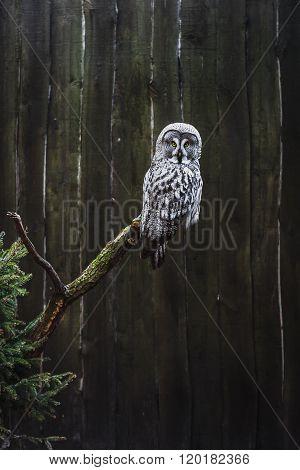 Grey Owl (Strix nebulosa) perched on a tree trunk