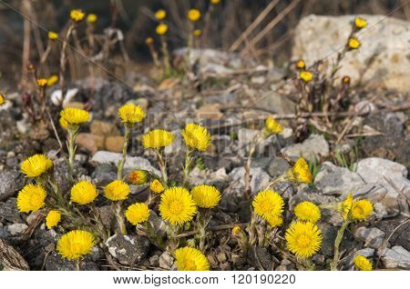 Tussilago farfara on gravel