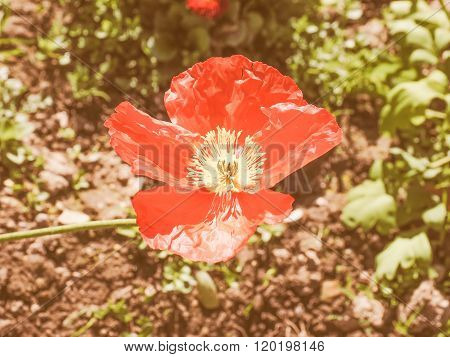 Retro Looking Papaver Flower