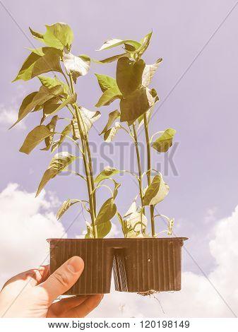 Retro Looking Plug Pepper Plant